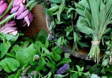 Banke becoming center for medicinal herb farming