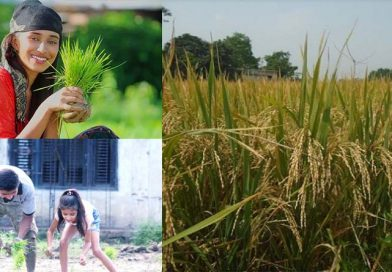 Bumper paddy yield estimated in Kaski: Experts